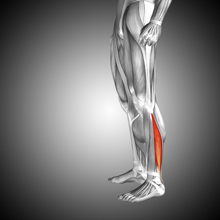 gastrocnemius: Conceptual 3D human front lower leg muscle anatomy on gray background Stock Photo