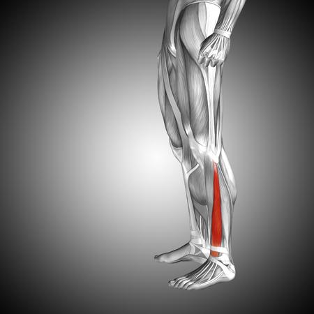 Koncepcyjne 3D człowieka przedniej dolnej anatomii mięśni nóg na szarym tle