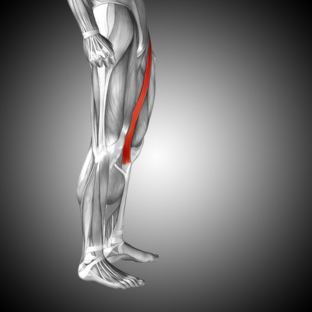 gastrocnemius: Conceptual 3D human front upper leg muscle anatomy on gray background Stock Photo