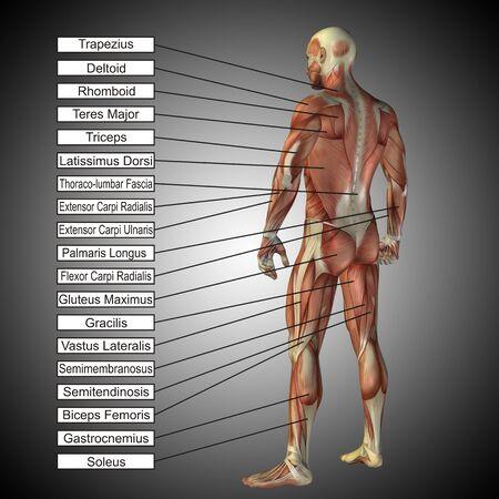 3 D の人間男性の解剖学の筋肉と灰色の背景上のテキスト 写真素材