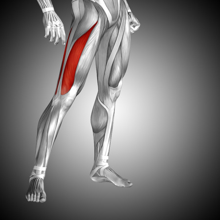 tensor: Conceptual 3D human front upper leg muscle anatomy on gray background Stock Photo