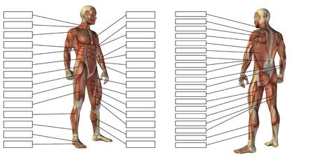白い背景で隔離のテキストと 3 D 男筋の解剖学