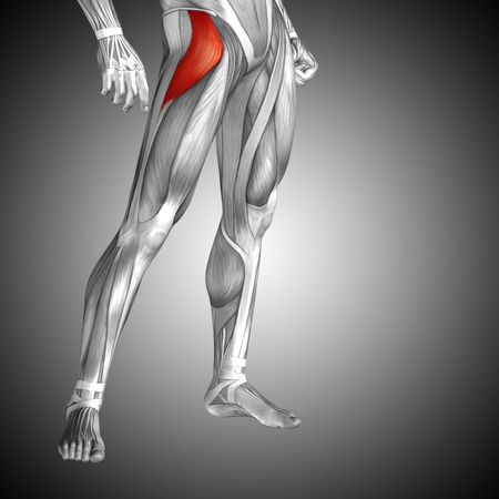rectus: Conceptual 3D human front upper leg muscle anatomy on gray background Stock Photo