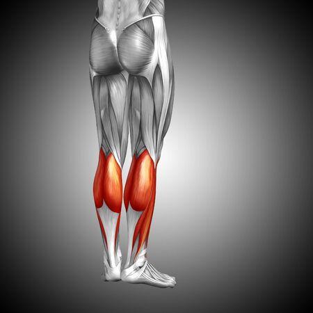 Koncepcyjne 3D ludzkiej dóÅ, dolnej nóg anatomii mię Å> ni na szarym tle