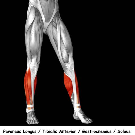 gastrocnemius: Conceptual 3D human front lower leg muscle anatomy isolated on black background Stock Photo