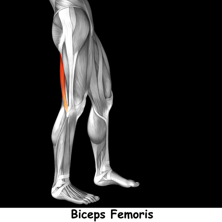 gastrocnemius: Conceptual 3D human front upper leg muscle anatomy isolated on black background