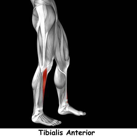 ścięgno: Koncepcyjne 3d człowieka z przodu podudzia anatomii mięśni samodzielnie na czarnym tle Zdjęcie Seryjne
