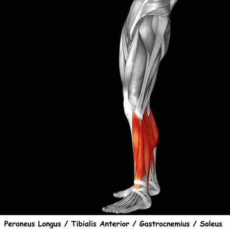 Conceptual 3D human front lower leg muscle anatomy isolated on black background Stock Photo