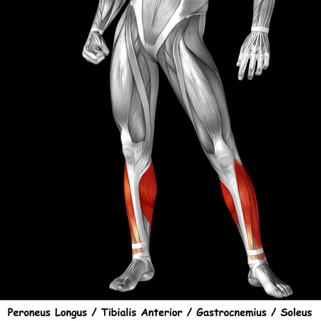 Conceptual 3D human front lower leg muscle anatomy isolated on black background Zdjęcie Seryjne