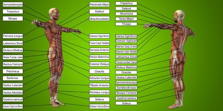 緑の背景にテキストをベクトル 3 D 男筋解剖学 写真素材
