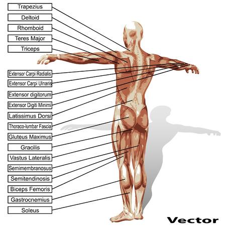 3D menschliche männliche Anatomie mit Muskeln und Text isoliert auf weißem Hintergrund