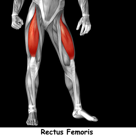 Conceptual 3D human front upper leg muscle anatomy isolated on black background