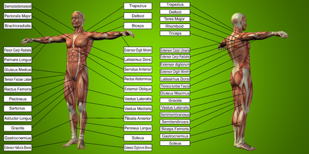 Vector 3D man muscle anatomy with text on green background Stock Photo