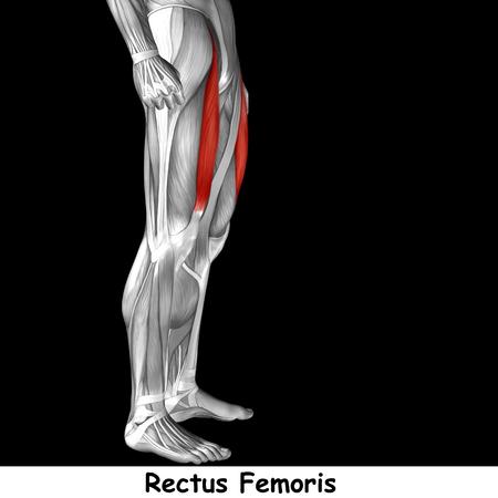 ścięgno: Koncepcyjne 3d human przednia górna noga anatomii mięśni samodzielnie na czarnym tle