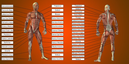 赤の背景にテキストをベクトル 3 D 男筋解剖学 写真素材
