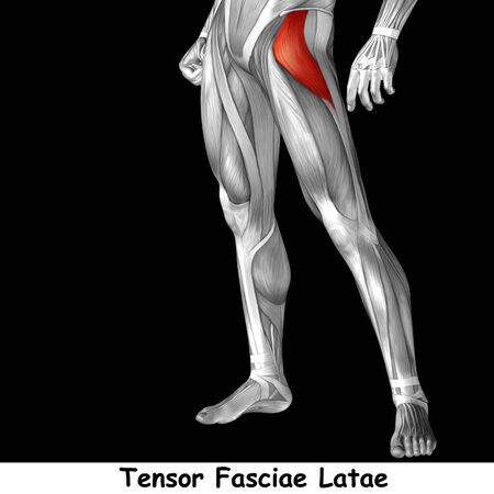 ścięgno: Conceptual 3D human front upper leg muscle anatomy isolated on black background