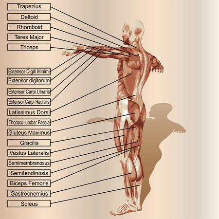 ベクトル 3 D 人間男性の解剖学の筋肉とベージュ色の背景上のテキスト
