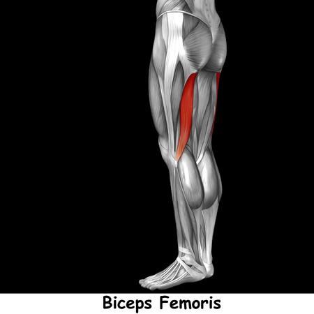 ścięgno: Conceptual 3D human back upper leg muscle anatomy isolated on black background