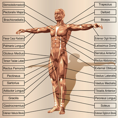 Vector 3D human male anatomy with muscles and text on beige background