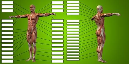 緑の背景にテキストボックスを持つ3D 男性の筋肉解剖学