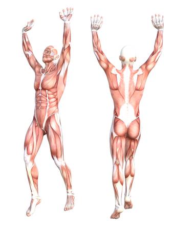Conceptuele anatomie gezonde skinless menselijk lichaamsspiersysteem set. Het atletische jonge volwassen mens stellen voor onderwijs, fitness sport, geneeskunde die op witte achtergrond wordt geïsoleerd. Biologie wetenschap 3D illustratie