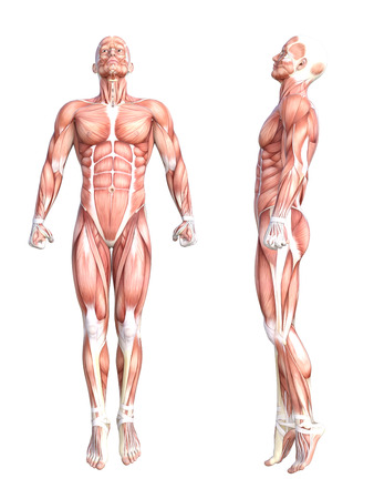 Conceptual anatomy healthy skinless human body muscle system set. Athletic young adult man posing for education, fitness sport, medicine isolated on white background. Biology science 3D illustration Standard-Bild