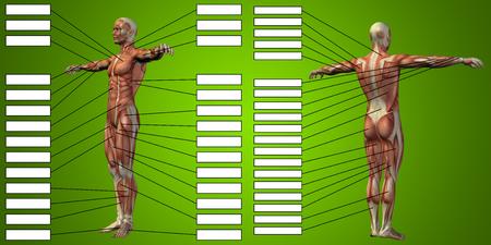 緑色の背景上のテキスト ボックスと 3 D マン筋の解剖学
