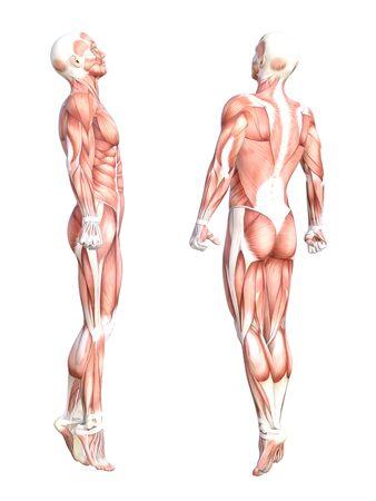 概念的な解剖学健康な皮人体筋肉システム セットです。フィットネス スポーツ、白い背景で隔離の医学教育のポーズ運動若い成人男性。生物科学の