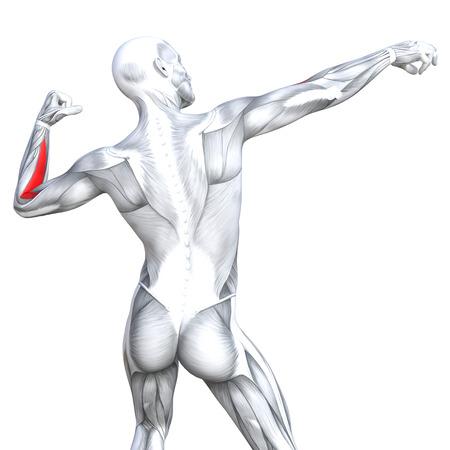 Latissimus - Anatomie Muskeln Isoliert Auf Weiß - 3D-Darstellung ...