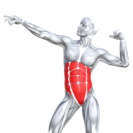 Conceptual 3D illustration chest fit strong human anatomy or anatomical and gym muscle isolated, white background for body health with tendons, abs, biological, fitness medical muscular system Stock Illustration - 85651266