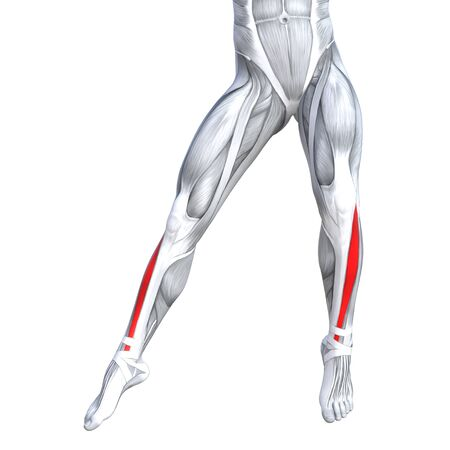 tensor: Concept conceptual 3D illustration fit strong front lower leg human anatomy, anatomical muscle isolated white background for body medical health tendon foot and biological gym fitness muscular system Stock Photo