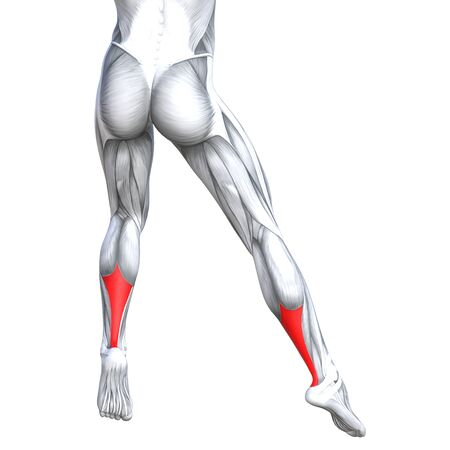 details: Concept conceptual 3D illustration fit strong back lower leg human anatomy, anatomical muscle isolated white background for body medical health tendon foot and biological gym fitness muscular system
