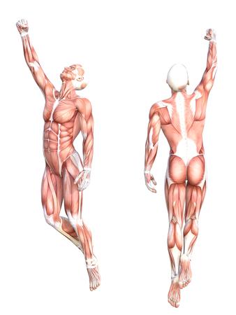 概念的な解剖学健康な皮人体筋肉システム セットです。フィットネス スポーツ、白い背景で隔離の医学教育のポーズ運動若い成人男性。生物科学の 3 D 図