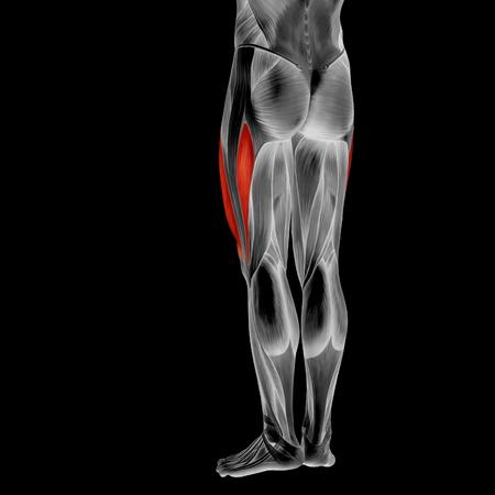 Menschliche Oberer Beinmuskelanatomie Des Menschlichen Körpers Des ...