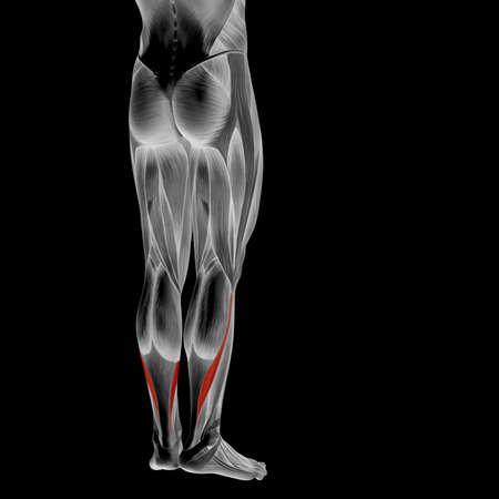 Koncepcyjne 3D ludzkiej dóÅ, dolnej nogi mięśni anatomii samodzielnie na czarnym tle Zdjęcie Seryjne