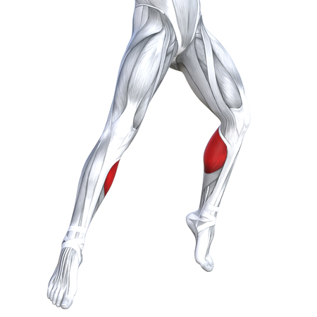 Concept conceptual 3D illustration fit strong front lower leg human anatomy, anatomical muscle isolated white background for body medical health tendon foot and biological gym fitness muscular system Zdjęcie Seryjne