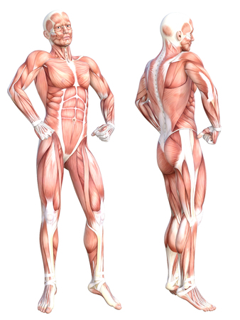 Conceptual anatomy healthy skinless human body muscle system set. Athletic young adult man posing for education, fitness sport, medicine isolated on white background. Biology science 3D illustration 写真素材