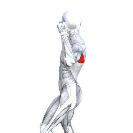 Concept conceptual 3D illustration back fit strong human anatomy or anatomical and gym muscle isolated, white background for body health with biological tendons, spine, fitness medical muscular system 写真素材 - 104570286
