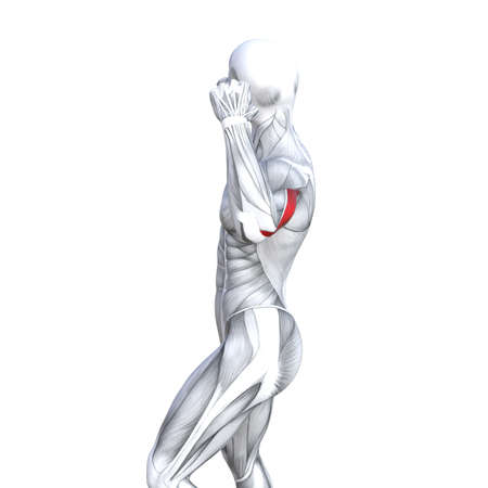 Concept conceptual 3D illustration back fit strong human anatomy or anatomical and gym muscle isolated, white background for body health with biological tendons, spine, fitness medical muscular system Stock Photo
