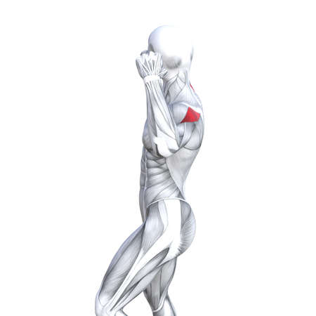 Concept conceptual 3D illustration back fit strong human anatomy or anatomical and gym muscle isolated, white background for body health with biological tendons, spine, fitness medical muscular system 写真素材