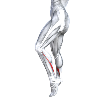 Concept conceptual 3D illustration fit strong back lower leg human anatomy, anatomical muscle isolated white background for body medical health tendon foot and biological gym fitness muscular system