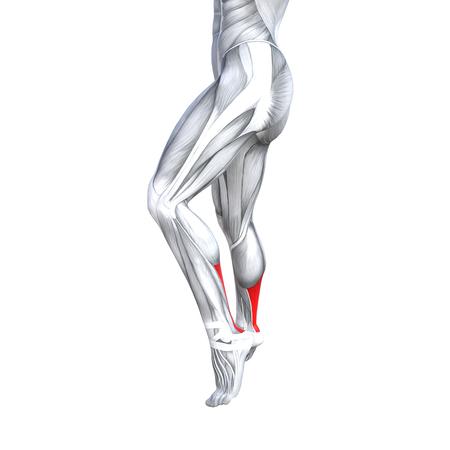 Illustrazione 3d concettuale di concetto in forma forte anatomia umana della parte inferiore della gamba posteriore, fondo bianco isolato del muscolo anatomico per il piede del tendine di salute medica del corpo e sistema muscolare di fitness palestra biologica