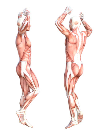 Conceptual anatomy healthy skinless human body muscle system set. Athletic young adult man posing for education, fitness sport, medicine isolated on white background. Biology science 3D illustration 版權商用圖片