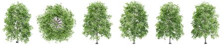 Set or collection of green oak trees isolated on white background. Concept or conceptual 3d illustration for nature, ecology and conservation, strength and endurance, force and life 版權商用圖片