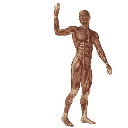 Concept or conceptual human or man 3D anatomy body with muscle isolated on white background as a metaphor to medicine, sport, male, muscular, medical, health, biology or fitness design