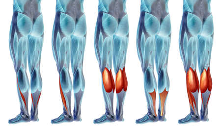 Concept or conceptual 3D human lower leg anatomy or anatomical and muscle set or collection isolated on white background metaphor to body, tendon, fit, foot, strong, biological, gym, fitness health me Banco de Imagens - 155960089