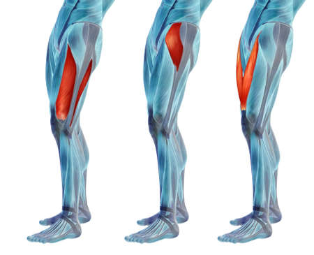 Concept or conceptual 3D human upper leg anatomy or anatomical and muscle set or collection isolated on white background metaphor to body, tendon, fit, foot, strong, biological, gym, fitness health me Banco de Imagens