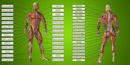3D illustration of a concept human man anatomy and muscle for sport and textbox on green background for body, tendon, spine, fit, builder, strong, biological, skinless, shape, posture, health medical Banco de Imagens - 155960186