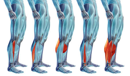 Concept or conceptual 3D human lower leg anatomy or anatomical and muscle set or collection isolated on white background metaphor to body, tendon, fit, foot, strong, biological, gym, fitness health me Banco de Imagens - 155960188