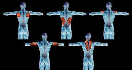 Concept or conceptual 3D back human anatomy or anatomical and muscle set or collection isolated on black background metaphor to body, tendon, spine, fit, abs, strong, biological, gym, fitness, skinles Banco de Imagens - 155960189